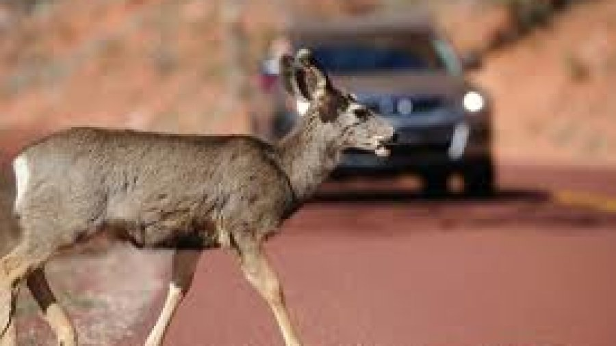 Killing a Deer with your Car – Is it Alright??